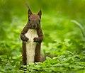 Red squirrel (50277564911).jpg