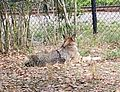 Red wolf (Canis lupus rufus) at Jacksonville Zoo.jpg