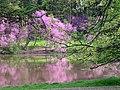 Redbud trees (Cercis canadensis) along Lake Marmo - Flickr - Jay Sturner.jpg