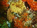 Reef invertebrates at Blousteen ridge DSC09470.JPG
