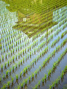 Reflection 2 The Rice Grows.jpg