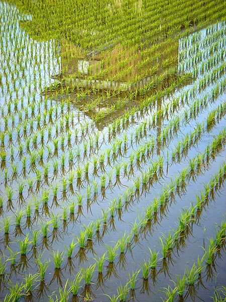 File:Reflection 2 The Rice Grows.jpg