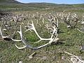 Reindeer horns.jpg