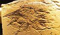 Rhabdocidaris mayri 143.jpg