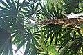Rhapis humilis kz04.jpg