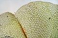 Rhizomnium magnifolium (a, 144151-472918) 3733.JPG