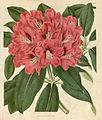 Rhododendron × altaclerense.jpg