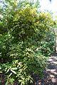 Rhododendron davidsonianum - VanDusen Botanical Garden - Vancouver, BC - DSC07328.jpg