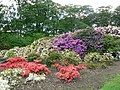 Rhododendrons and Azaleas, Temple Newsam - geograph.org.uk - 180234.jpg