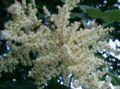 Rhus javanica var chinensis3.jpg