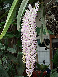 Rhynchostylis retusa, West Java.jpg