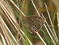 Ringlet (Aphantopus hyperantus) - geograph.org.uk - 584921.jpg