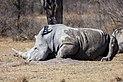 Rinoceronte blanco (Ceratotherium simum), Santuario de Rinocerontes Khama, Botsuana, 2018-08-02, DD 12.jpg