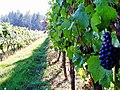 Ripe grapes on the vine at Sweet Cheeks Winery.jpg