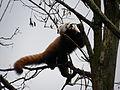 Rode panda (4497261641).jpg