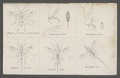 Rogas - Print - Iconographia Zoologica - Special Collections University of Amsterdam - UBAINV0274 046 07 0006.tif