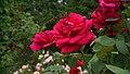 Rosa 'Mister Lincoln' at Ishida Rose Garden in Odate, Akita, Japan.jpg