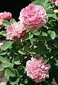 Rosa 'Rose de Meaux'.jpg
