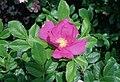 Rosa 'Scabrosa'.jpg