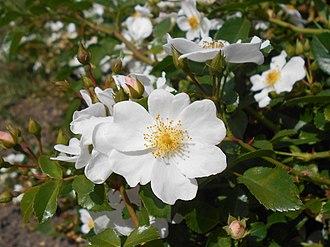 ADR rose - Image: Rosa Apfelblute 2018 07 10 5763