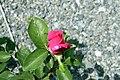 Rosa Perfume Delight 1zz.jpg