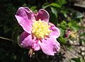 Rosa woodsii ultramontana.jpg