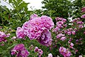 Rosarium Baden Rosa 'Buisman's Triumph' Buisman 1952 02.jpg