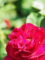 Rose, Darcey Bussell, バラ, ダーシー バッセル, (18432171006).jpg