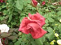 Rose from Lalbagh flower show Aug 2013 8551.JPG