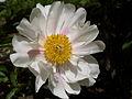 Rose sauvage 02.JPG