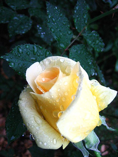 File:Rose yellow dew.jpg