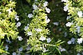 Rosmarinus officinalis Lockwood De Forest 1zz.jpg