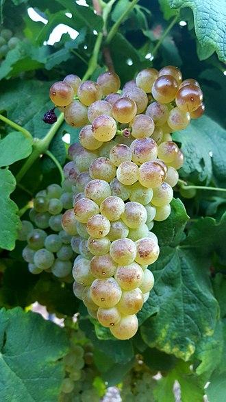 Roussanne - Roussanne grapes