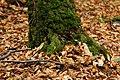 Roville-aux-Chênes, mousse sur un tronc 01.jpg