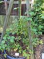 Rubus baruthicus - Botanischer Garten, Frankfurt am Main - DSC02450.JPG