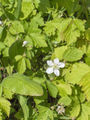 Rubus fruticosus(02).jpg