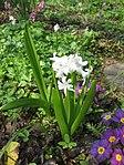 Ruhland, Grenzstr. 3, Gartenhyazinthe, weiß blühend, Frühling, 01.jpg