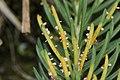 Rust fungus on Picea abies (42969119330).jpg