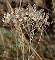 SDC10506 - Veronica spicata ssp. incana.JPG