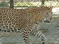 SGNP minizoo Leopard.JPG