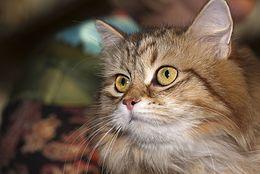 Gatto Siberiano Wikipedia
