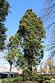 Saint-Quentin Champs-Elysées Jardin d'horticulture Séquoia 1.jpg