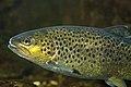 Salmo trutta fario - Truite fario - Brown trout.jpg