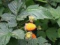Salmonberry (Rubus spectabilis) - Flickr - brewbooks.jpg
