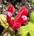 Salvia pulchella 2.jpg