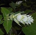 Salvia sclarea 2015-06-16 402.JPG