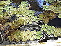Salvinia auriculata-lake-yercaud-salem-India.JPG