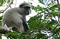 Samango Monkey (Cercopithecus albogularis) (32715839218).jpg