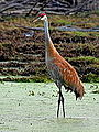 Sandhill Crane (7642017498).jpg