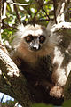 Sanford's lemur, male 03.jpg